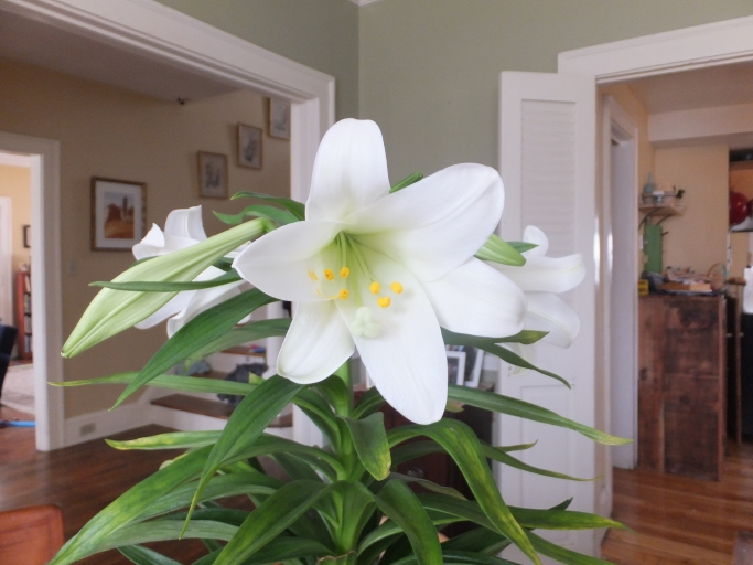 Who doesn't love Easter Lillies?